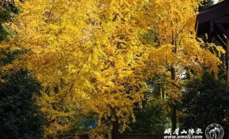 峨眉山 | 初冬禅院别样景 满眼金色映红墙(组图)
