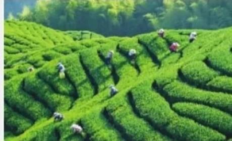 英德红茶丨半个世纪的骄傲:外销的明星茶,英国女王的御用茶