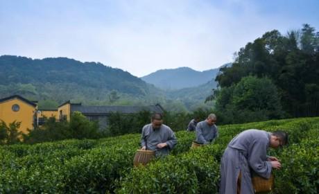 2019杭州法净禅茶开采 法师现场出坡采茶制茶