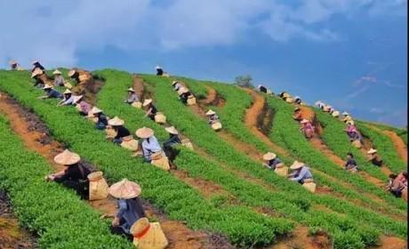 福建丨一个为茶而生的省份!产量最高!名优茶最多!