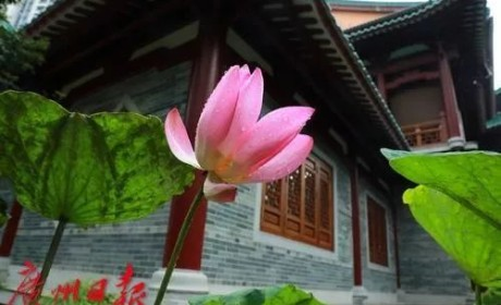 惊喜!穿越千年的古莲子,在广州开出莲花了!其或来自宋代