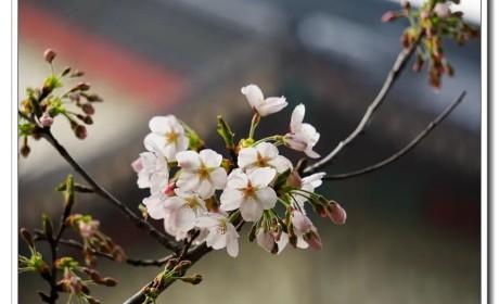 """鸡鸣樱花季到了!寺院提醒:今年,不妨来个""""云赏花"""""""